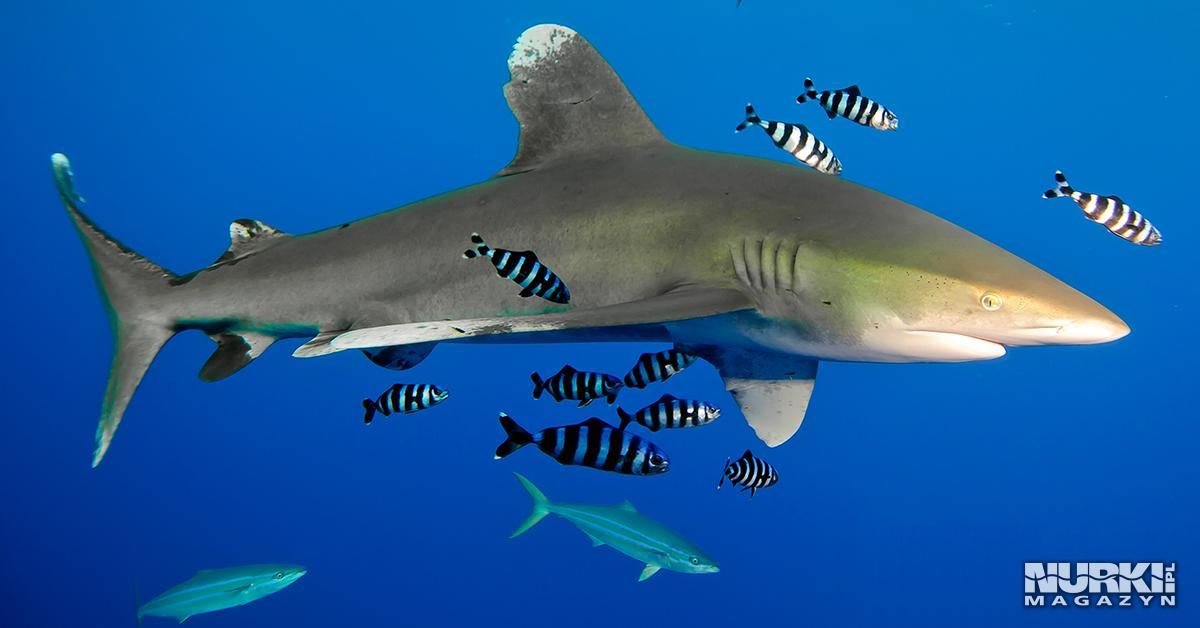 Magazyn Nurki.pl numer 2 Egipt Morze Czerwone Trasa BDE Daedalus Rekin Shark Nurkowanie techniczne