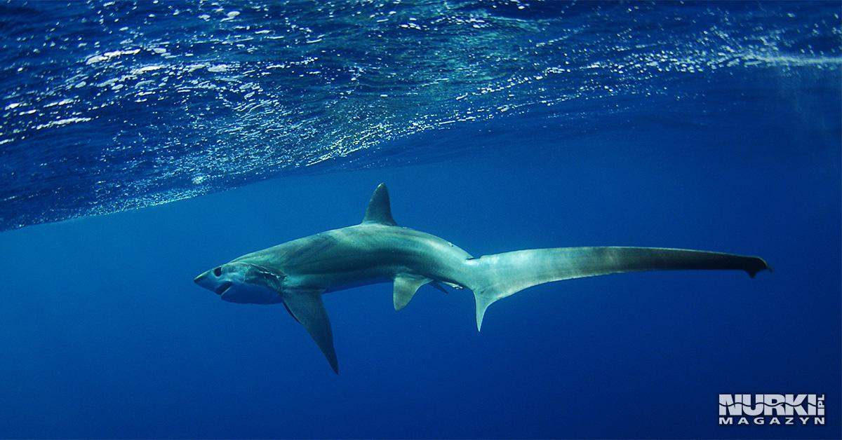 Magazyn Nurki.pl numer 5 Malapascua, Filipiny, Oman, Orcatorch, Sprzęt nurkowy, Pencil's Logbook, Karol Ołówek, podwodny świat, magazyn nurkowanie, prenumerata Tresher shark, rekin kosogon, lis morski