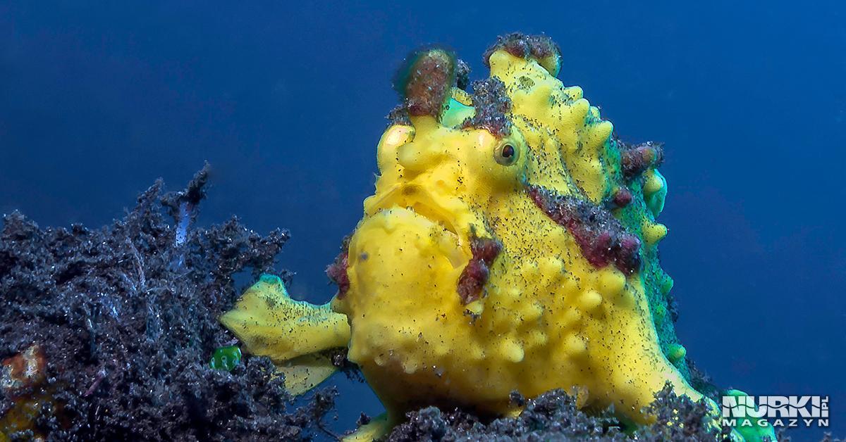 Magazyn Nurki.pl numer 2 Bali Benthos Resort Gdynia Dive Nurkowanie Indonezja Nurki frogfish